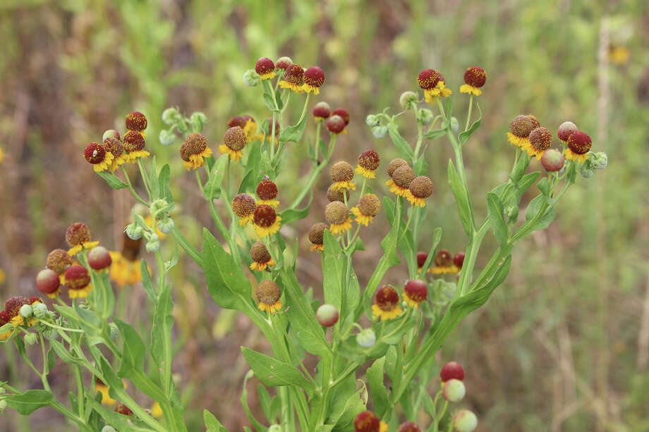 Small-headed sneezeweed