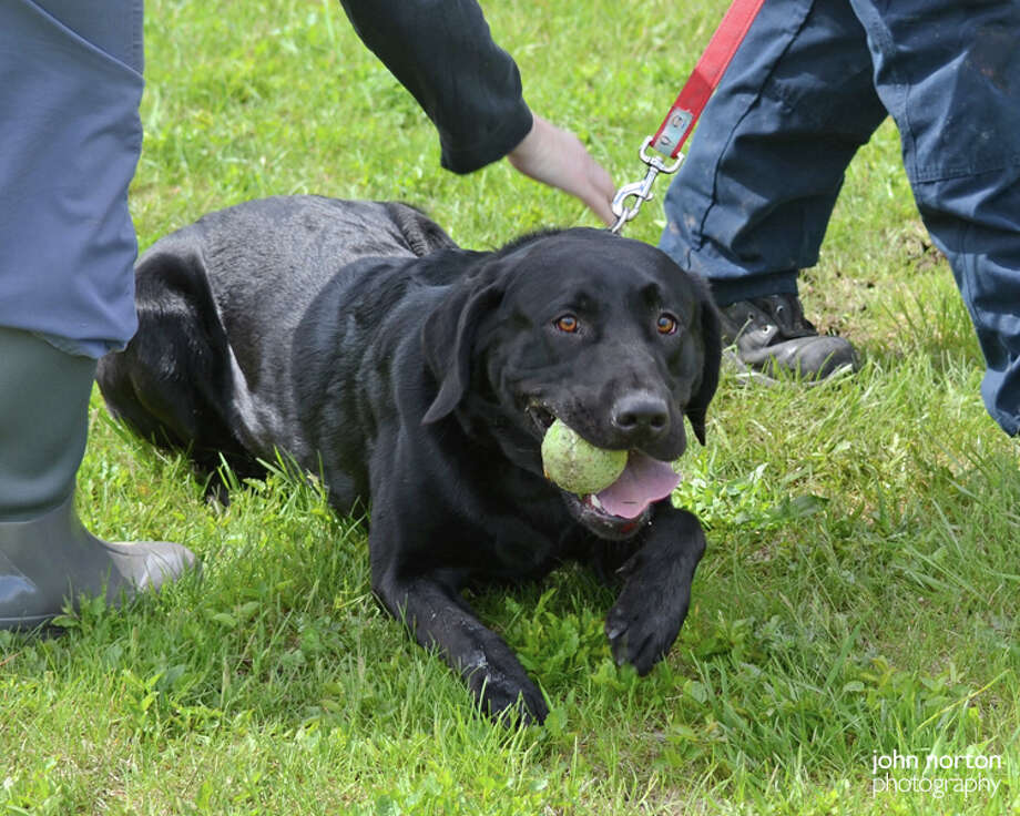 Lolo, an 18-month-old black lab mix, is tested for his ability to perform disaster search-and-rescue work for the state Department of Homeland Security and Emergency Services officials on Wednesday, May 3, 2017, in Guilderland. (John Norton, Mohawk Humane Society) Photo: (John Norton, Mohawk Humane Society)