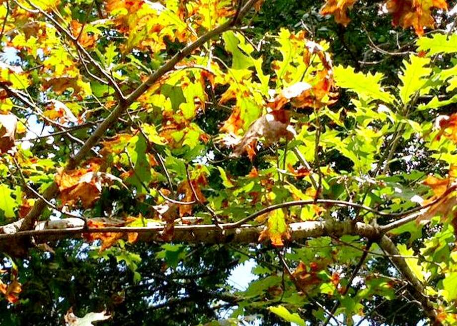 Browned edges on the leaves of a red oak could indicate oak wilt. Photo: Courtesy Photo