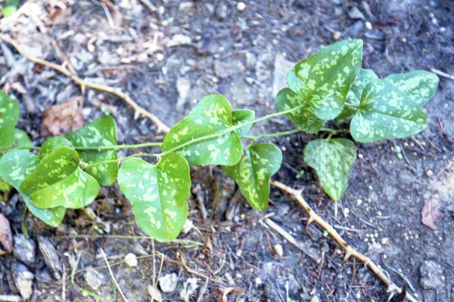 This is smilax briar, common over much of the state. Its leaves are very leathery and glossy green, but there aren't very many of them per stem. Photo: Courtesy Photo