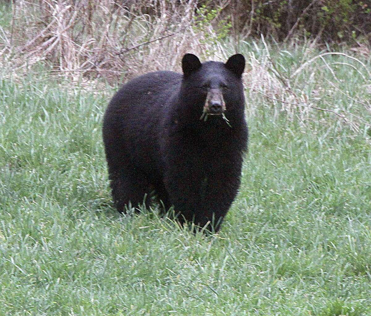 Male black bears often leave the area in which they were born and raised, while females generally remain. Legislation that would have created a hunting season for bear died Thursday in the Senate.