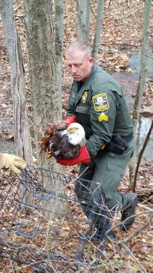 Sgt. Tate Begley was awarded a medal for Outstanding Service from the Department of Energy and Environmental Protection May 15. Here, he rescues an eagle last year. Photo: Contributed Photo / State Department Of Energy And Environmental Protection