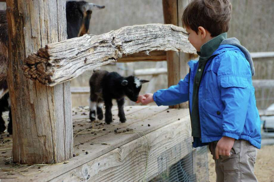 The baby animals of the Heckscher Farm, including the newly born goats, will be among the attractions at the annual Spring on the Farm festival May 20 and 21 at the Stamford Museum & Nature Center. Photo: Contributed Photo / Contributed Photo / Stamford Advocate Contributed