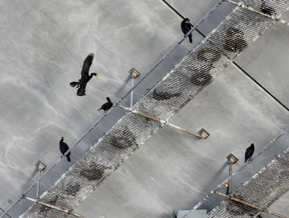 A cormorant flies toward a nesting platform below the new eastern Bay Bridge span in Oakland. Photo: Paul Chinn, The Chronicle