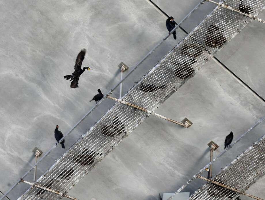 A cormorant flies toward a nesting platform below the new eastern Bay Bridge span in Oakland. Photo: Paul Chinn, The Chronicle