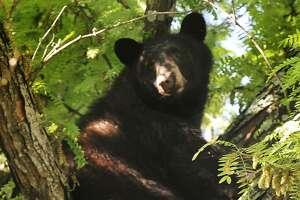 A 250-pound black bear in Danbury in 2013.