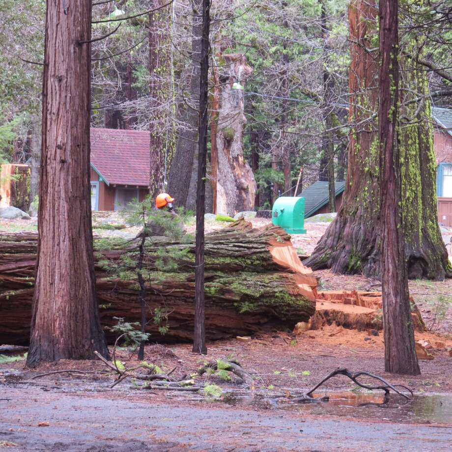 Loggers have removed over 1,500 trees from Camp Mather after a bark beetle infestation decimated the forest surrounding the longstanding family camp. Photo: SF Rec And Park Department Of Urban Foresters