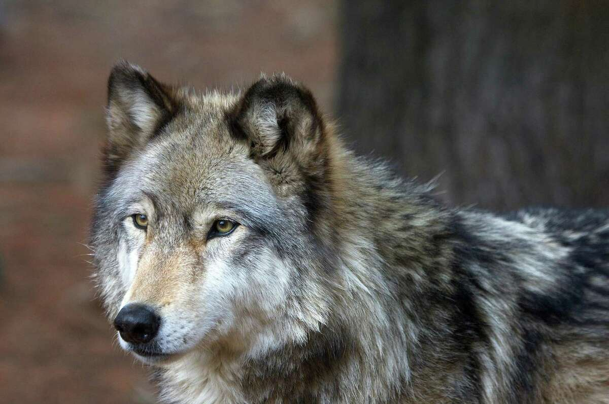 One of the Beardsley Zoo wolves
