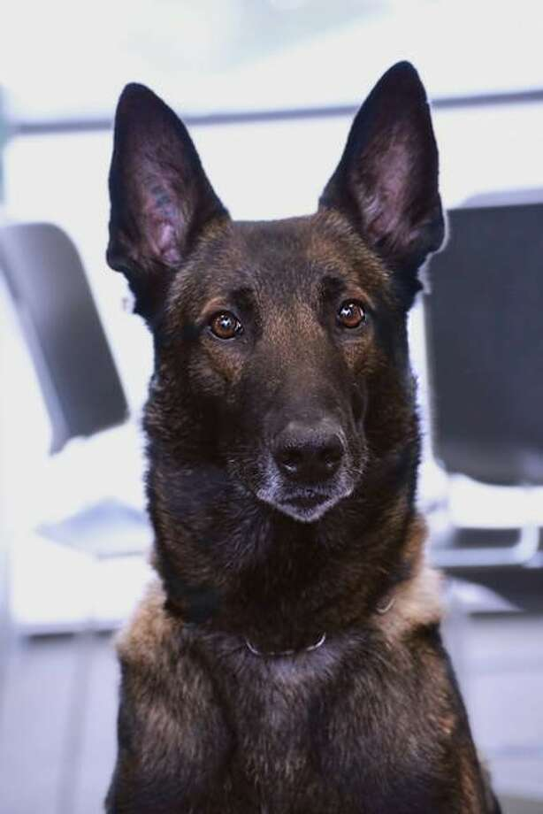 Ice Category: Law Enforcement / Arson DogsCharity Partner: Throw Away DogsLocation: Olympia, Washington Photo: American Humane Hero Dog Awards