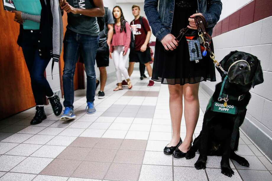 Labrador retriever Nyland can be found at senior Julia Smith's side every day at Cy-Fair High School, where she has been taking him for the past year as part of his training to become a guide dog. Photo: Michael Ciaglo, Staff / Michael Ciaglo