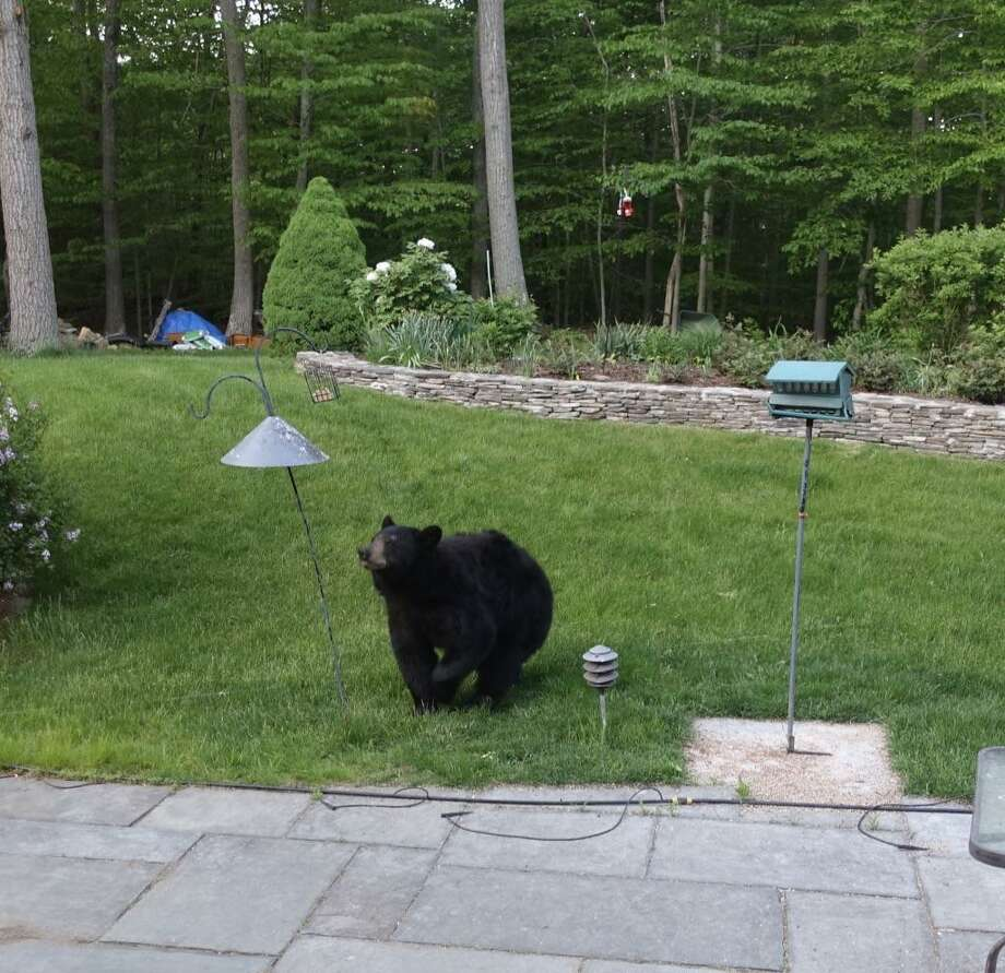 This bear was spotted in the backyard of a New Milford, Conn. house on Saturday, May 20. Photo: Contributed Photo / Hearst Connecticut Media / New Canaan News
