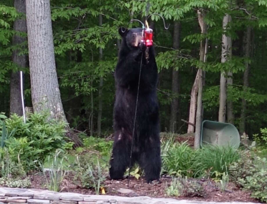 This bear was spotted in the backyard of a New Milford, Conn. house on Saturday, May 20. Photo: Contributed Photo