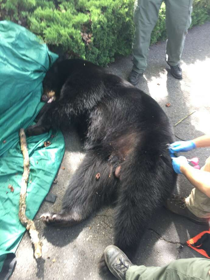 Police, wildlife officers tranquilize large bear in Lakewood