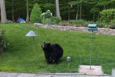 A New Milford resident was surprised to see a black bear in his back yard recently.