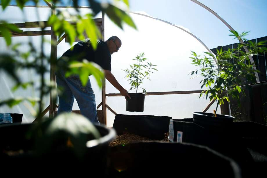 Steve Evans positions a pot plant in a greenhouse at his home in Santa Rosa, which considered banning personal gardens. Photo: Noah Berger, Special To The Chronicle