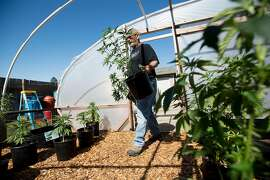 Pot grower Steve Evans carries marijuana plants into a greenhouse at his Santa Rosa, Calif., home on Monday, May 22, 2017.