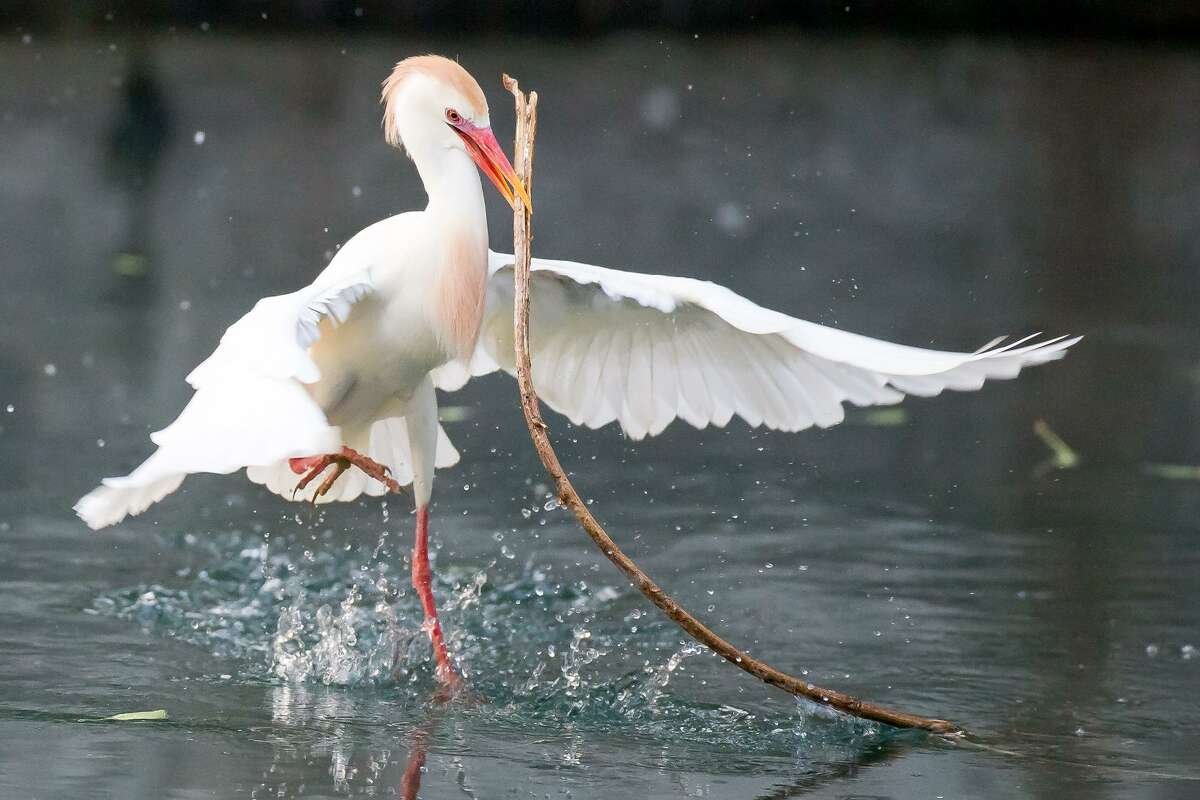 A cattle egret tries to pick up a branch in the San Antonio River to use in its nest at the egret and heron rookery in Brackenridge Park in 2017. Cattle egrets at Elmendorf Lake have been deemed a hazard to aircraft at nearby runways but a plan to drive them off is on hold now that eggs have been discovered there. Federal law protects the migratory wildfowl during roosting season. MARVIN PFEIFFER/ mpfeiffer@express-news.net