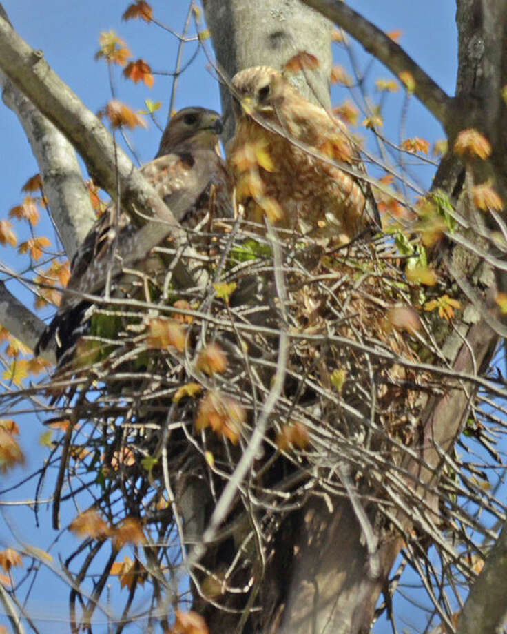 Midlander Cheryl McMahan has been photographing this red-shouldered hawk's nest north of Midland.