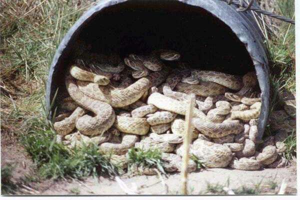 Photos alleging to show a giant rattlesnake den and a monster gator inside a Texas culvert, or drain pipe, are making the rounds among Texas Facebook users thanks to a post by I Love Texas.