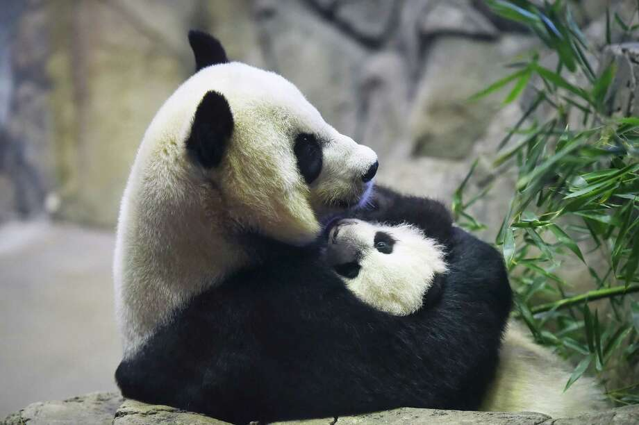 Baby panda Bei Bei with Mei Xiang in December 2015 at the National Zoo. Mei Xiang has three surviving cubs - Tai Shan, Bao Bao and Bei Bei and is in heat. Photo: Washington Post Photo By Matt McClain / The Washington Post