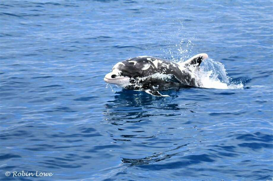 Patches, a rare black-and-white dolphin, was spotted among a pod of 40 other bottlenoses on Monday, May 22 near Dana Point, Calif. Photo: Courtesy Robin Lowe