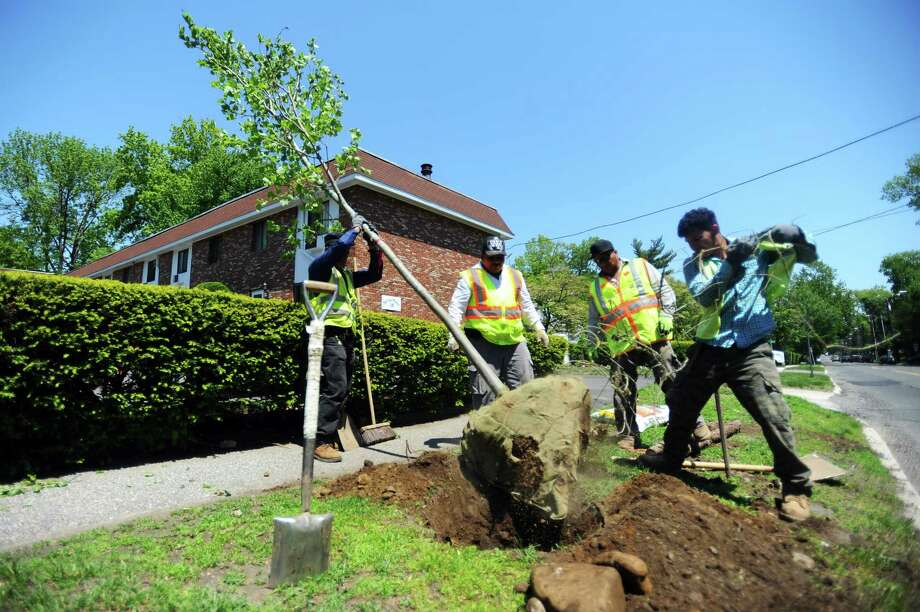 A Louis Barbatos Landscaping crew plants a tree on Maple Tree Ave. in Stamford, Conn. on Wednesday, May 17, 2017. The new trees are replacements for those that have recently died or were dying. Photo: Michael Cummo / Hearst Connecticut Media / Stamford Advocate
