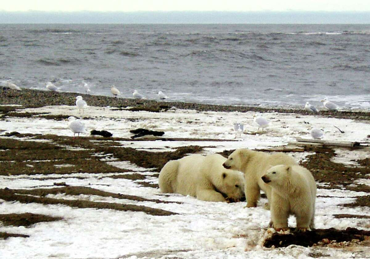 A polar bear sow and two cubs are seen on the Beaufort Sea coast within the 1002 Area of the Arctic National Wildlife Refuge in this undated photo. (Reuters/U.S. Fish and Wildlife Service)