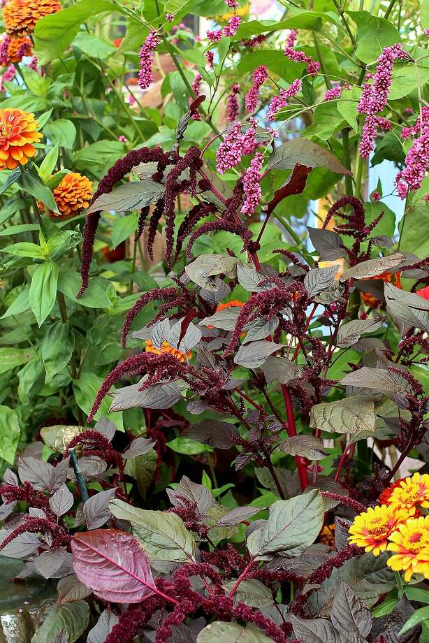 Amaranthus 'Hopi Red Polygonum.' Photo: Annie�s Annuals & Perennials