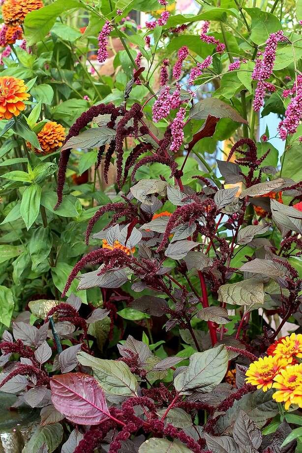Amaranthus 'Hopi Red Polygonum.' Photo: Annie�s Annuals & Perennials