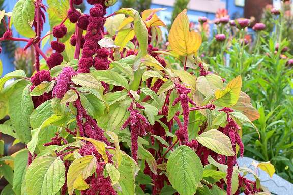 Amaranthus variety  Photo: Annie�s Annuals & Perennials
