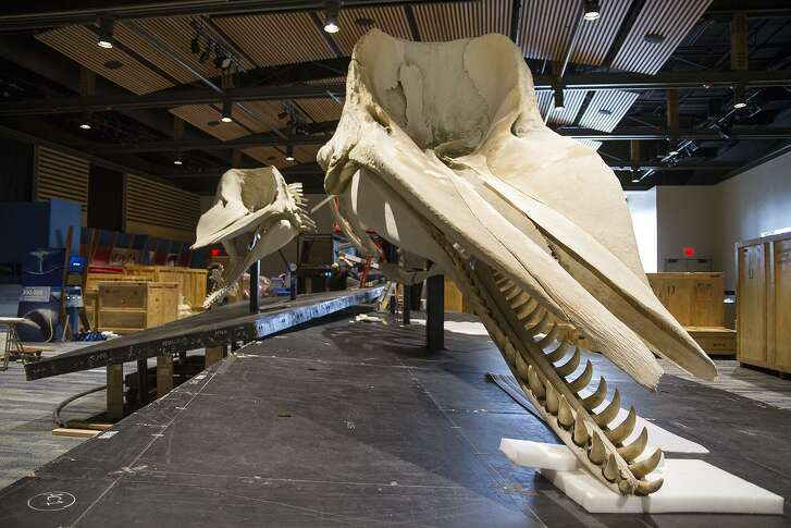 "Skeletons of a female sperm whale (left) and a juvenile male sperm whale are highights of ""Whales: Giants of the Deep,"" which opens on Saturday at the Witte Museum."