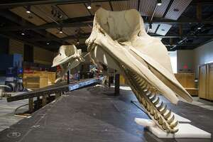 """Skeletons of a female sperm whale (left) and a juvenile male sperm whale are highights of """"Whales: Giants of the Deep,"""" which opens on Saturday at the Witte Museum."""
