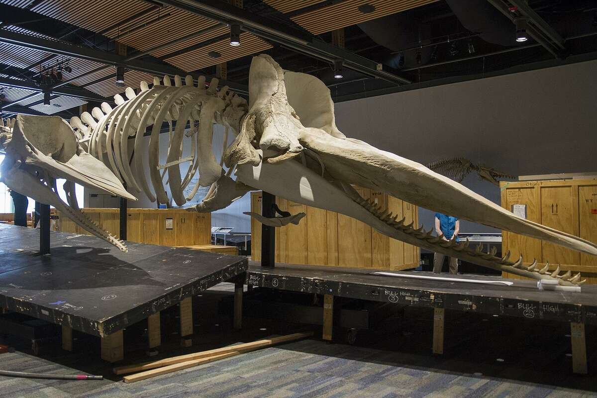 """A female sperm whale (left) and a juvenile male sperm whale (right) are on display in """"Whales: Giants of the Deep,"""" an exhibit at the Witte Museum."""