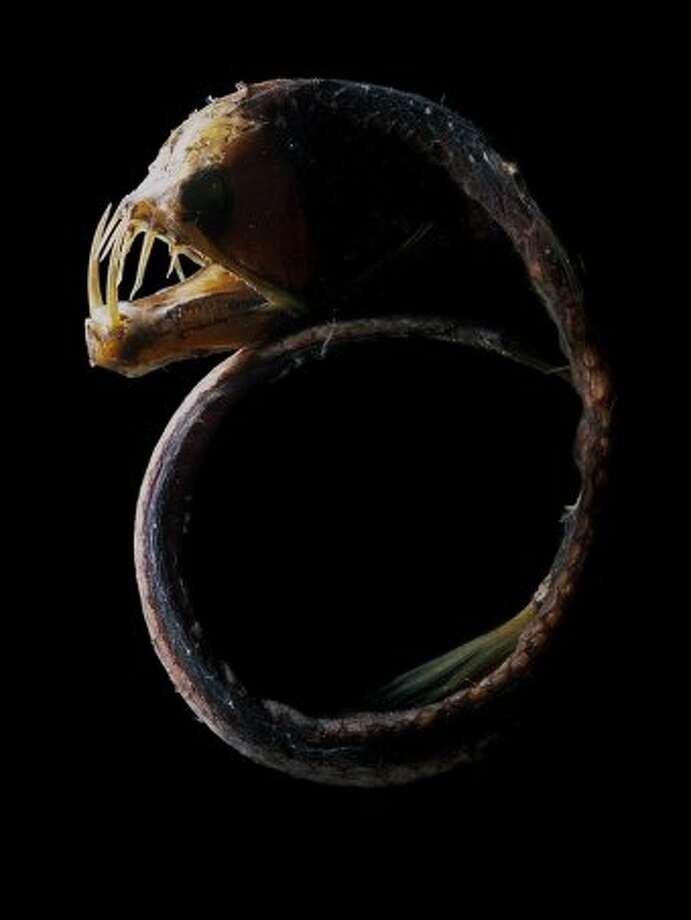 Sloane's Viperfish Photo: (David Paul)