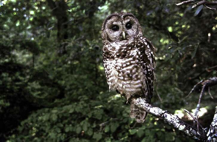 The northern spotted owl has become the poster child for Endangered Species Act enforcement. Now, a Texas case will test whether the Bone Cave Harvestman spider is endangered enough to involve the Interstate Commerce Clause.