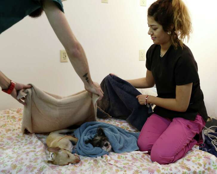 Animal Assistant Kimberly Castillo attends to dogs coming out of surgery at the SNAP-San Antonio Spay-Neuter & Animal Wellness Clinic, Wednesday, May 24, 2017. The clinic is temporarily operating out of the former Affordable Pet Care clinic at 6603 Ingram Road. It is usually housed across the street at Ingram Square but was forced to move due to a fire. San Antonio firefighter Scott Deem died in the fire. The clinic performs around 9,000 to 10,000 sterilization operations a year. It amounts to about 20-percent towards San AntonioÕs no-kill efforts. About 1/3 of the operation are performed free of charge.