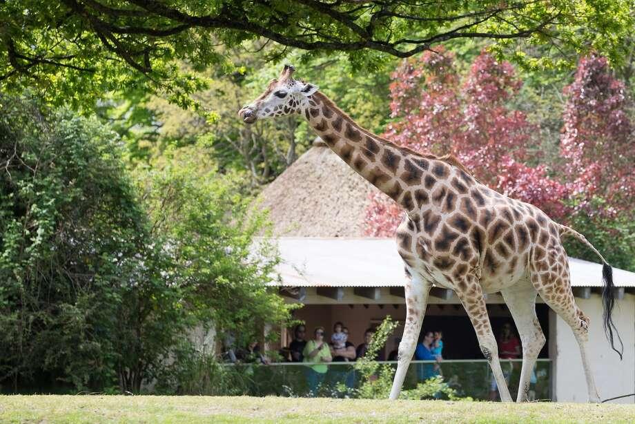 Tufani on the African Savanna at Woodland Park Zoo Photo: Jeremy Dwyer-Lindgren