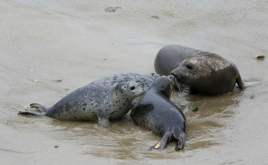 Three harbor seals gather around a curious elephant seal at Chimney Rock Wednesday May 24th, 2017. Four harbor seals were rescued, nursed back to health and released by the Marine Mammal Center. Photo: Kathleen Duncan, The Chronicle
