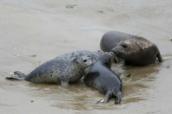 Three harbor seals gather around a curious elephant seal at Chimney Rock Wednesday May 24th, 2017. Four harbor seals were rescued, nursed back to health and released by the Marine Mammal Center.
