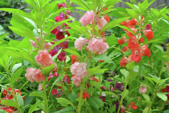 Balsam  grows easily from seed in the Houston garden. The plants, a variety of impatiens, are also known as Touch Me Nots because of their exploding seed pods that release seeds when touched.