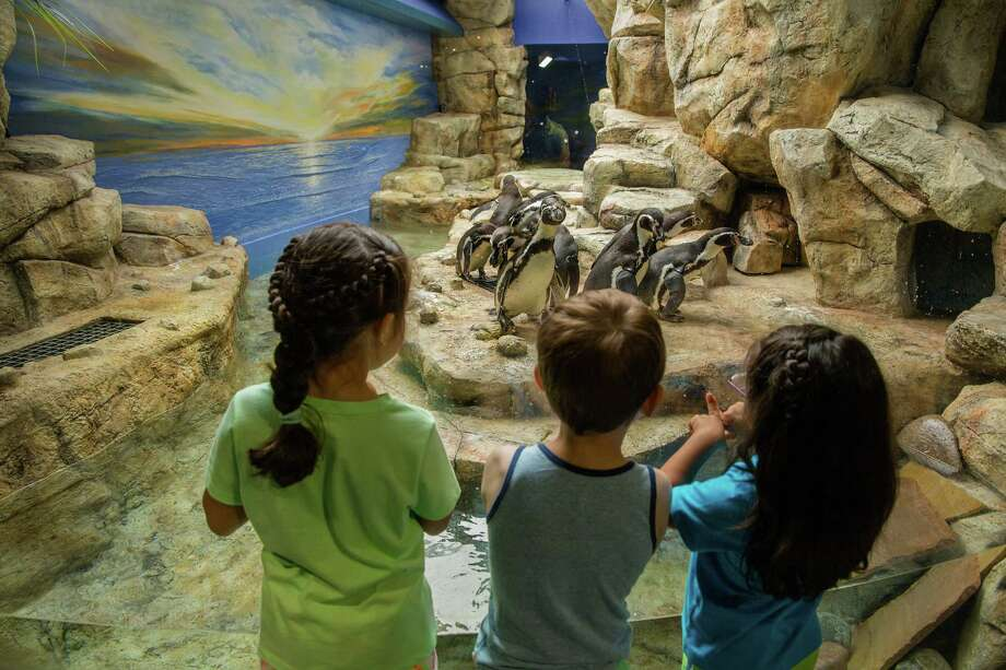 Moody Gardens is thrilled to introduce the Humboldt penguins that hail from Southern Hemisphere waters from the Antarctic Pole to the Equator. This is the second penguin exhibit at Moody Gardens and the Humboldts are right next door to the South Atlantic Penguin Habitat, home to the King, Gentoo, Chinstrap, Rockhopper and Macaroni penguins. As part of the recent renovations, the South Atlantic Penguin Habitat is newly enhanced to better benefit guests and the health and livelihood of the penguins within. Photo: Robie Capps, Photographer / copyright 2017 Robie Capps Photography