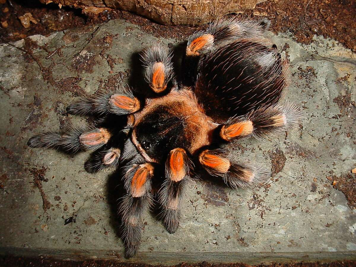 Eighteen different kinds of tarantulas are the focus of a special exhibit at the San Francisco Zoo & Gardens.