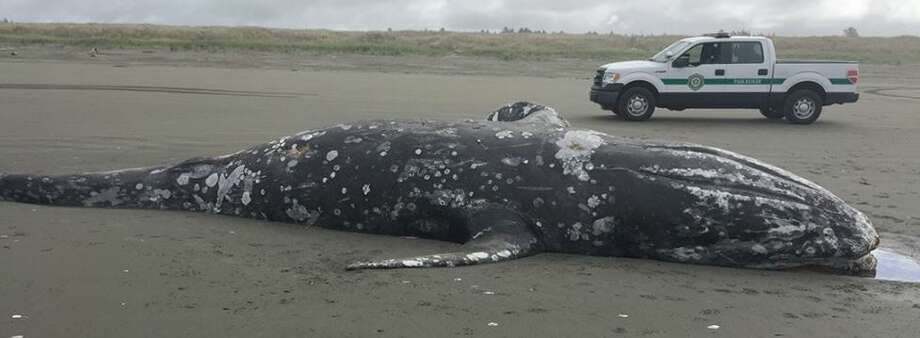 The carcass of a juvenile gray whale that washed up on shore south of Twin Harbors State Park will be allowed to decompose naturally. Photo: Washington State Parks
