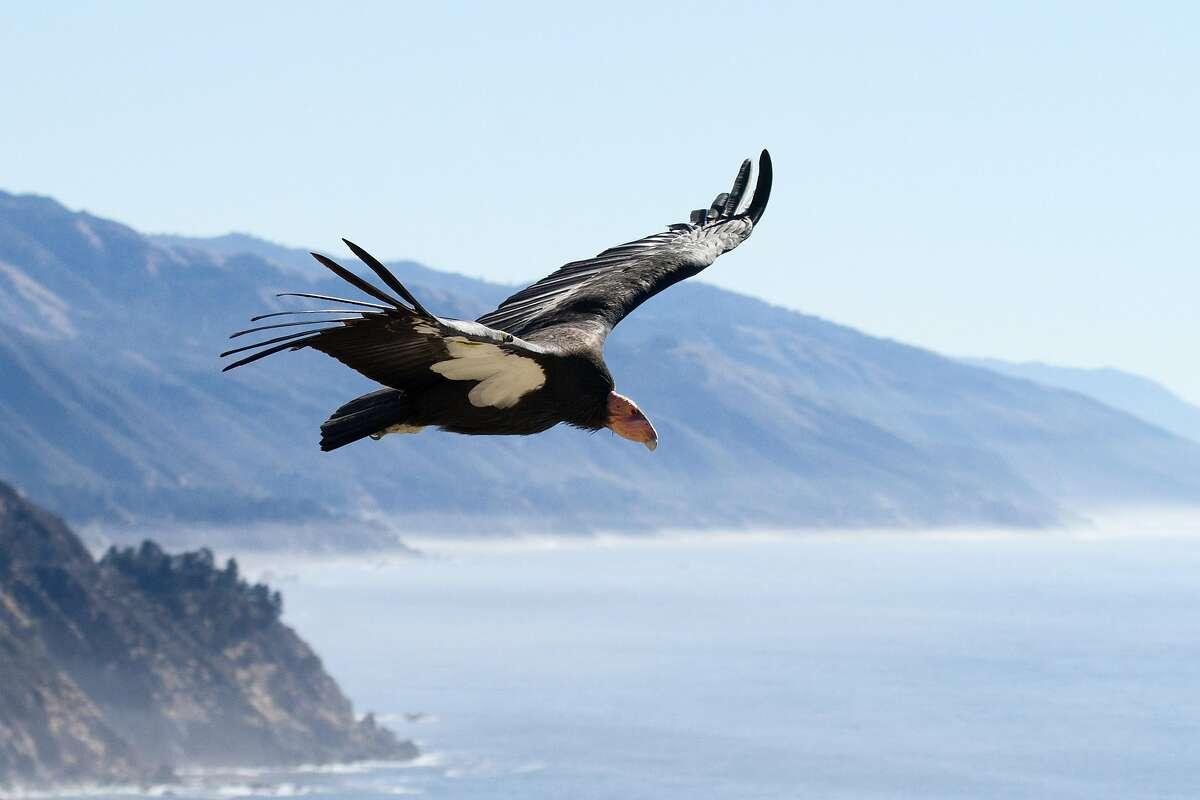 Condor #204 (Amigo) soars over the coastline of Big Sur