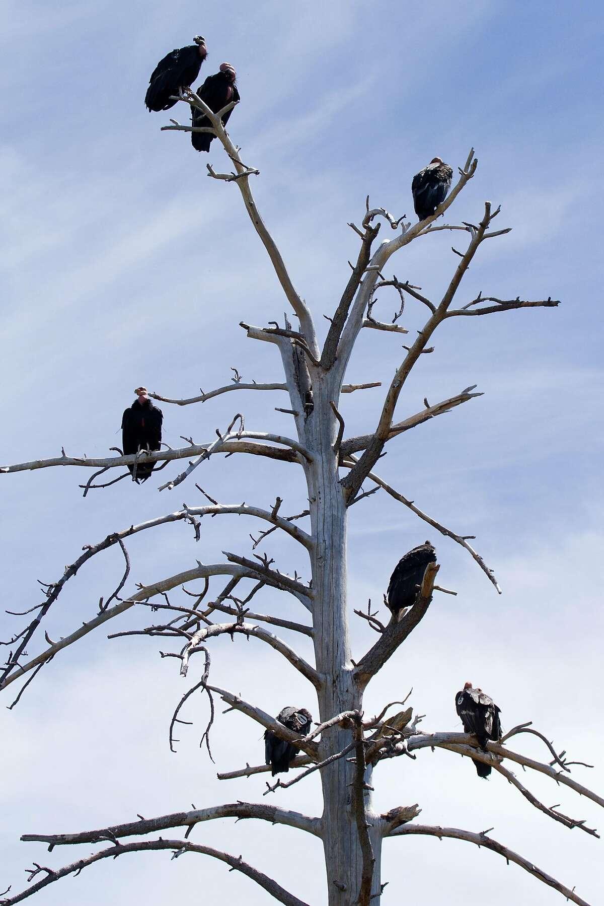 Condors roost in a dead tree in the Ventana Wildlife Society condor sanctuary high above the Big Sur coastline.