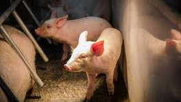 Photos from a National Press Foundation tour of a Humeston, Iowa, pig farm