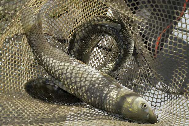 Sterile grass carp with trackers will be added to Candlewood Lake and Squantz Pond in an effort to combat watermilfoil.