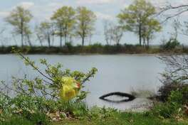 A plastic bag is trapped in a bush at Greenwich Point Park in Old Greenwich, Conn. Monday, May 8, 2017.
