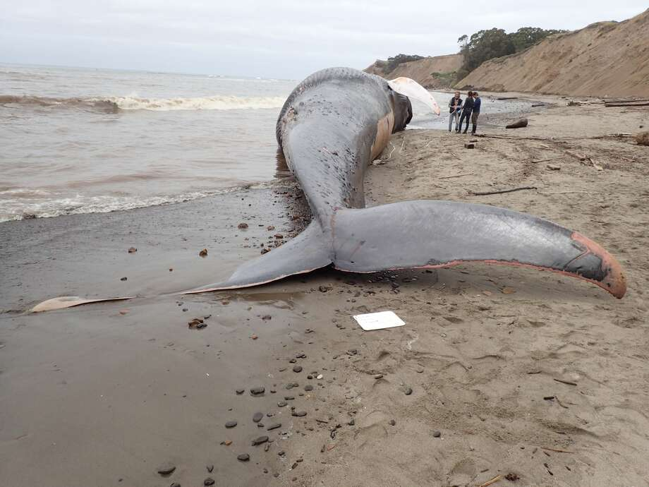 Blue whale that washed ashore in California was hit by ship