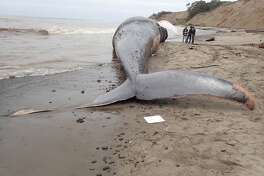 A 79-foot female blue whale carcass tumbles in the surf at Agate Beach in Bolinas. A team of three scientists from The Marine Mammal Center and California Academy of Sciences responded to the carcass Friday, May 26, 2017, to take initial measurements and tissue samples. The Center has previously responded to 8 blue whales in its 42-year history including a 65-foot blue whale at Westmoor Beach in Daly City in October 2016.